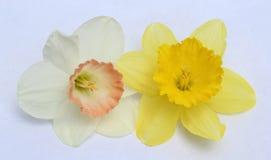 Duas cabeças de flor da margarida isoladas no fundo claro imagens de stock royalty free