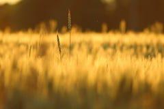Duas cabeças do trigo que alcançam para fora no campo da colheita foto de stock