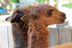 Duas cabeças dos lamas fotografia de stock royalty free