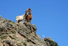 Duas cabras Imagens de Stock