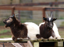 Duas cabras Fotografia de Stock Royalty Free