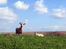 Duas cabras Fotos de Stock Royalty Free