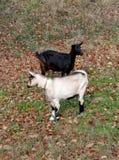 Duas cabras Fotografia de Stock