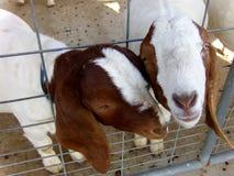 Duas cabras Imagem de Stock Royalty Free