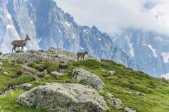 Duas cabras alpinas na borda da montanha, montagem Bianco, cumes, Itália Imagem de Stock