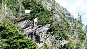 Duas cabras de montanha no parque nacional de geleira Foto de Stock