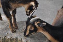 Duas cabras em um coto de árvore imagem de stock royalty free