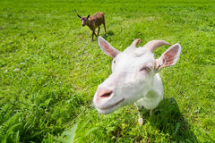 Duas cabras em um prado verde Imagem de Stock