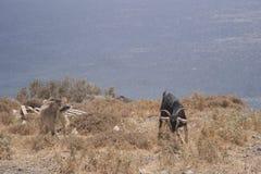 Duas cabras em uma montanha imagens de stock royalty free