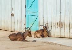 Duas cabras horned que encontram-se fora na sujeira fotografia de stock
