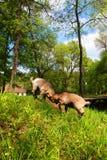 Duas cabras marrons domésticas novas que lutam em uma exploração agrícola Imagem de Stock Royalty Free