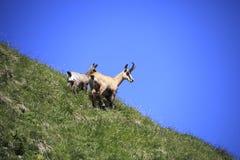 Duas cabras-montesas Imagem de Stock Royalty Free