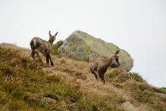 Duas cabras-montesas novas na névoa em montanhas de Tatra Fotografia de Stock