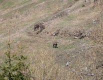 Duas cabras-montesas pastam livre entre os grandes pastos da montanha Fotografia de Stock Royalty Free