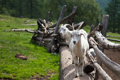 Duas cabras na cerca Imagens de Stock