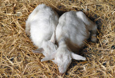Duas cabras novas Foto de Stock Royalty Free