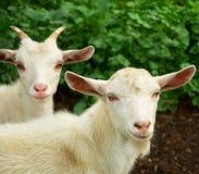Duas cabras pequenas Fotografia de Stock Royalty Free