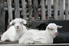 Duas cabras pequenas Imagem de Stock