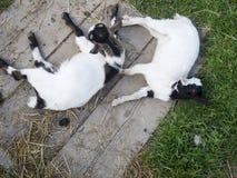 Duas cabras pequenas que olham acima Fotografia de Stock