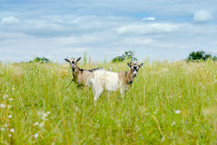 Duas cabras que comem a grama no prado verde Fotos de Stock
