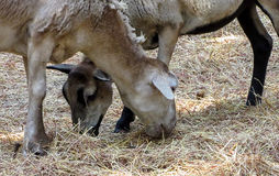 Duas cabras que comem o feno Imagem de Stock Royalty Free