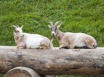 Duas cabras que sentam-se em um log fotografia de stock royalty free
