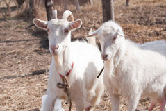 Duas cabras velhas Fotos de Stock