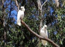 Duas cacatuas em uma árvore Fotografia de Stock
