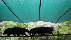 Duas caminhadas do bearcat na corda para se vídeos de arquivo
