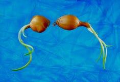 Duas cebolas da mola no fundo azul fotos de stock royalty free