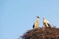 Duas cegonhas brancas novas no ninho no fundo do céu azul Fotos de Stock Royalty Free