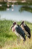 Duas cegonhas de marabu Fotografia de Stock