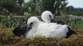 Duas cegonhas novas no ninho Fotos de Stock Royalty Free