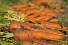 Duas cenouras Imagem de Stock