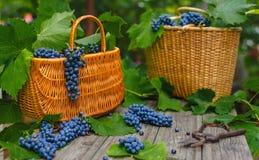 Duas cestas com uvas e secateurs na madeira rústica Fatura de vinho imagens de stock