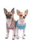 Duas chihuahuas Foto de Stock