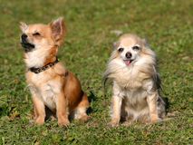Duas chihuahuas de assento Fotografia de Stock