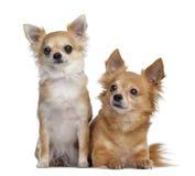 Duas chihuahuas, 5 e 4 anos velhos, assento e encontro Fotografia de Stock