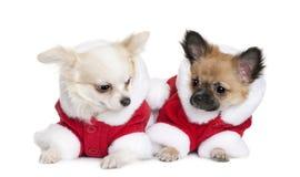 Duas chihuahuas em Santa revestem, 7 meses velho Imagens de Stock