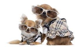 Duas chihuahuas próximos um do outro acima vestidas que vestem vidros Foto de Stock Royalty Free