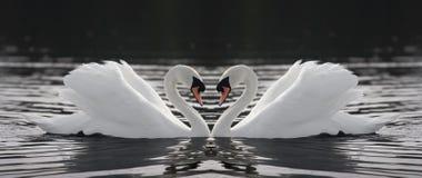 Duas cisnes Imagem de Stock Royalty Free