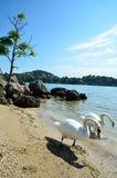 Duas cisnes Imagem de Stock