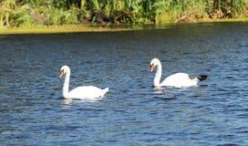 Duas cisnes Fotografia de Stock