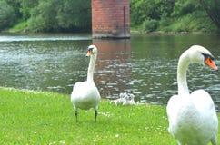 Duas cisnes brancas com cisnes novos em um banco de rio gramíneo fotos de stock
