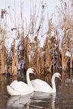 Duas cisnes brancas que nadam na água Imagem de Stock