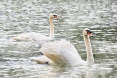 Duas cisnes brancas que nadam no lago em PangUng, Maehongsorn, Tailândia Névoa acima da água Fotografia de Stock Royalty Free