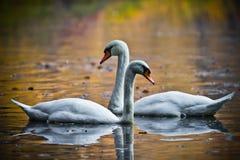 Duas cisnes do amor Fotografia de Stock