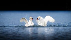 Duas cisnes masculinas que lutam na água azul foto de stock