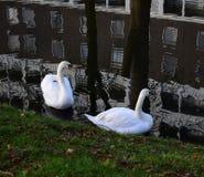 Duas cisnes mim fotografia de stock