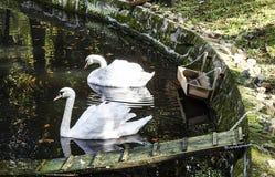 Duas cisnes na água Imagem de Stock Royalty Free